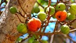 buah tin pohon