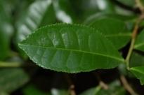 daun Camellia_sinensis,_