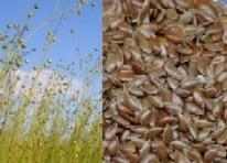 flaxseed2