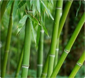 bamboo-300x273